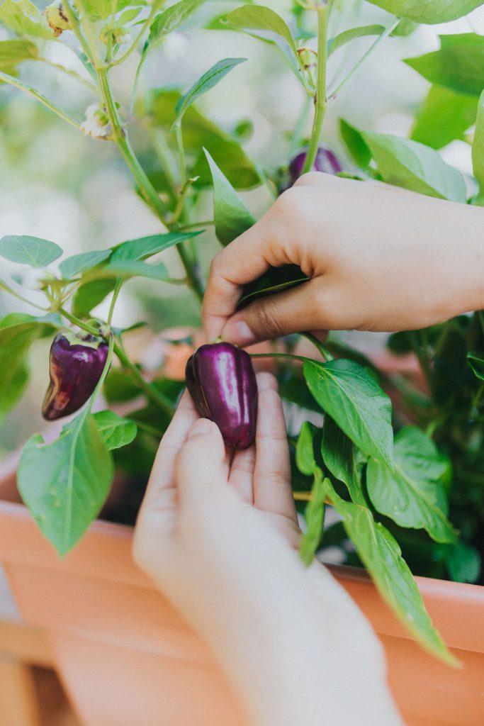 tending to purple plants