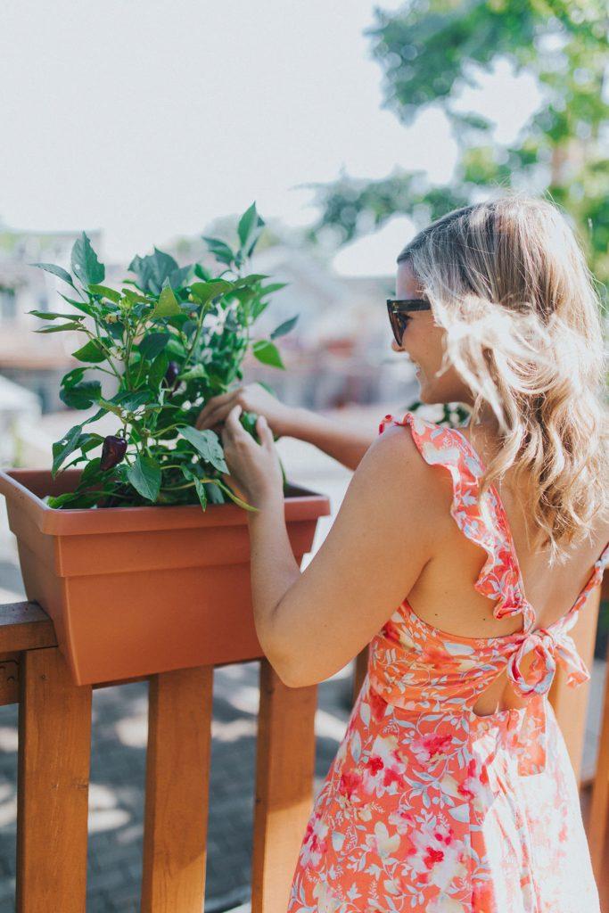 watering her burpee plants